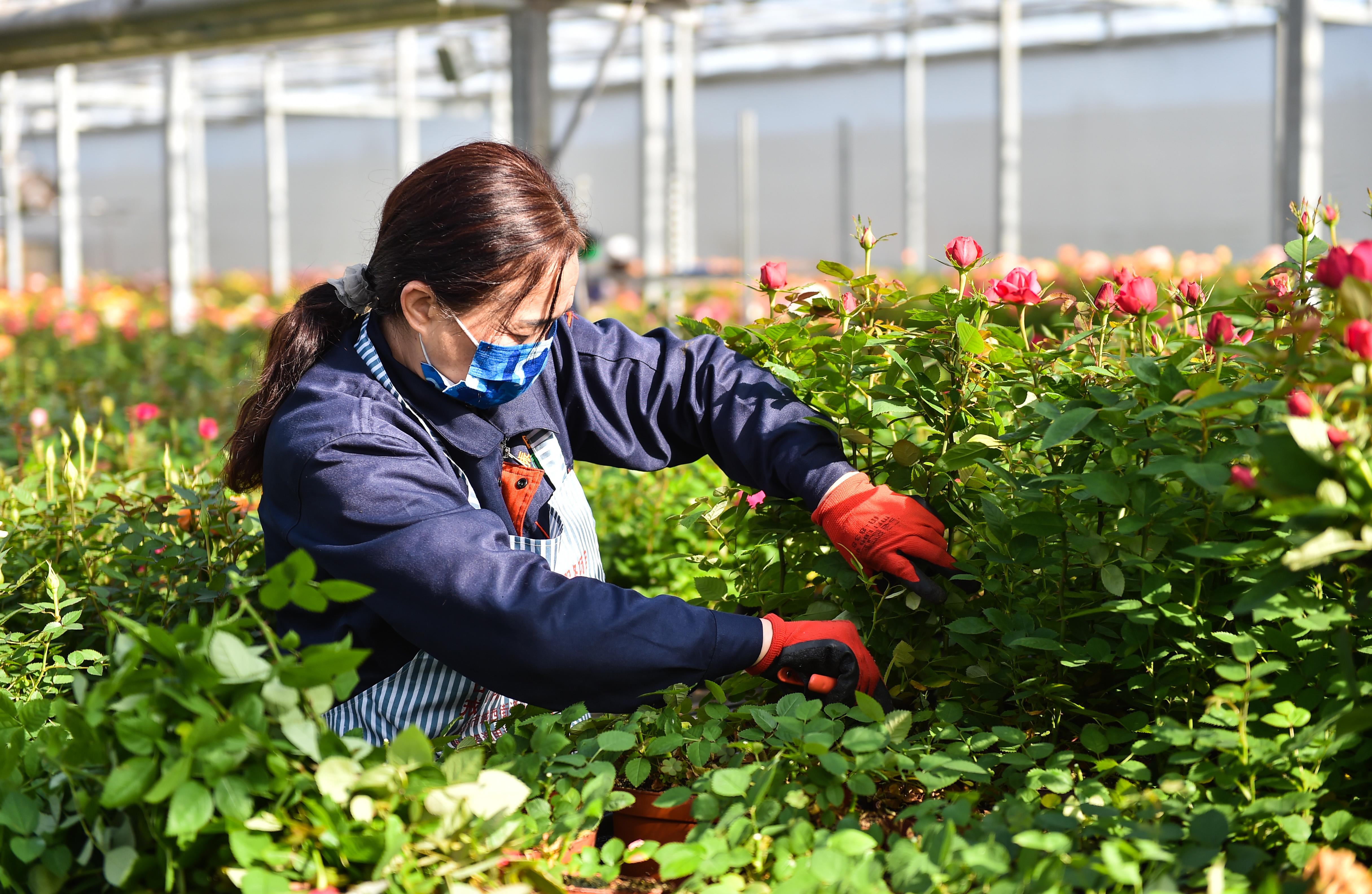 3月14日,在太原市晋源区花卉小镇振华园艺花卉产业园,工作人员给盆栽图片